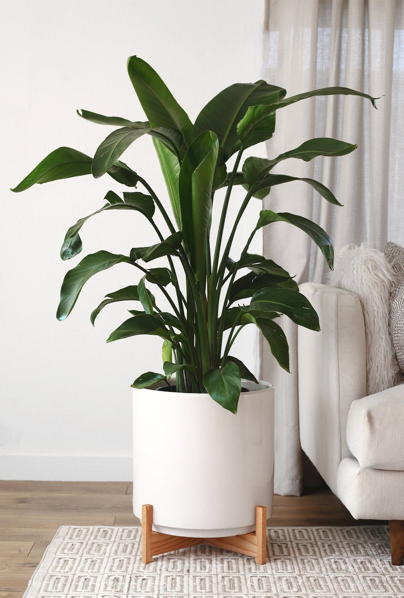 Xxl Stella Mid Century Modern Planter Shorty Wood Plant Stand Etsy In 2020 Tall Indoor Plants Large Indoor Plants Big Indoor Plants