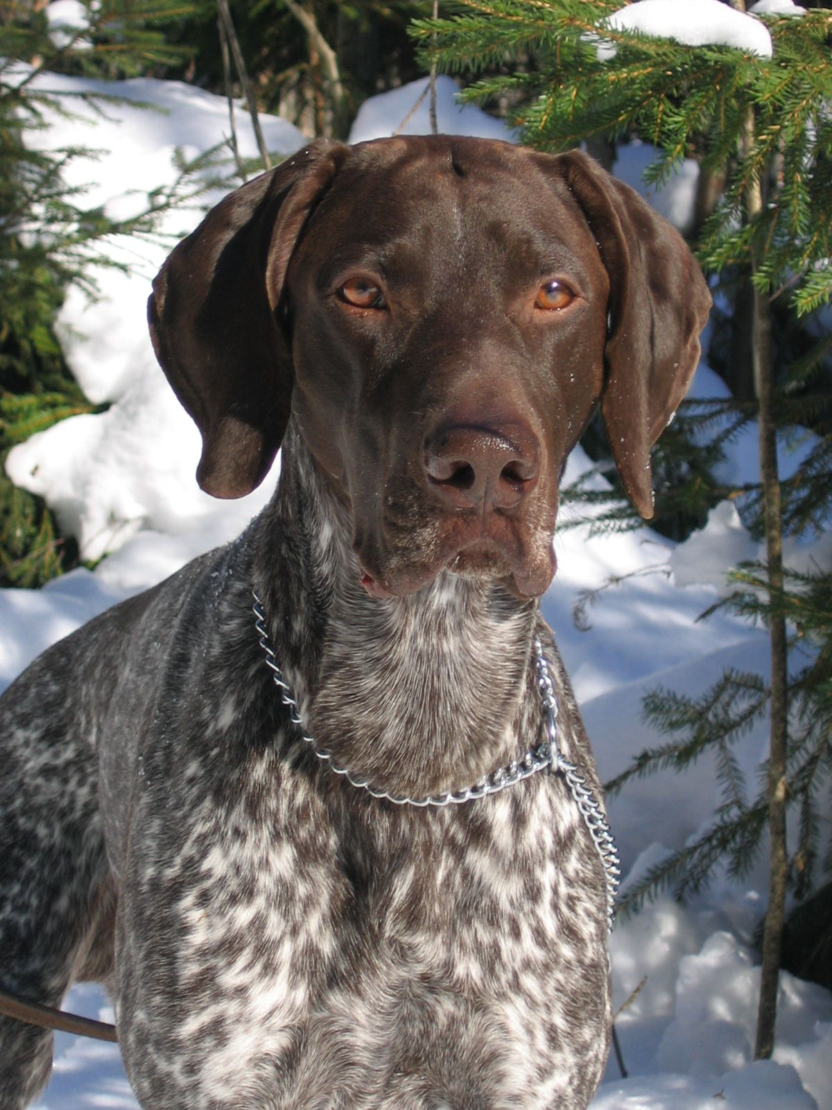german short haired pointer - photo #15