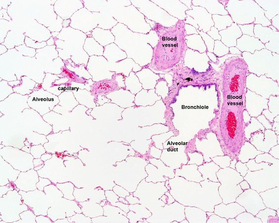 Lung histology labeled bronchiole alveolar duct alveoli lab filerespiratory histology 08g embryology ccuart Gallery