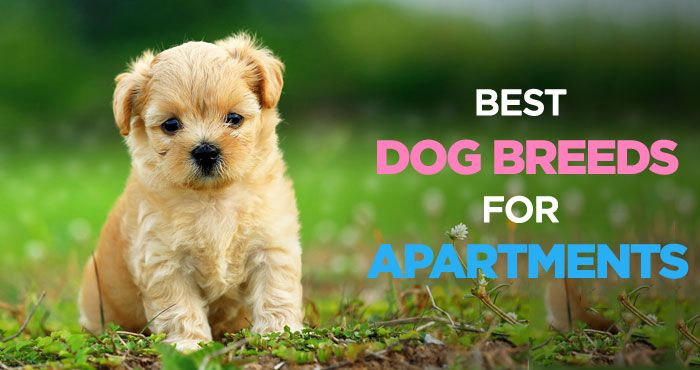 Best Dogs For Apartments Finding The Perfect Apartment Dog Breed Http Peanutpaws