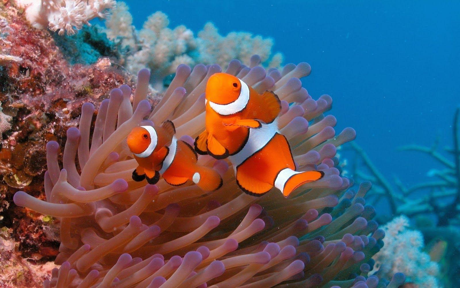 20 Wallpaper Bawah Laut Terbaru Bangiz In 2019 Clownfish