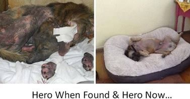 3 months ago a Thai lady found a dog hidden in a pump house in a village close to the Heroine's monument. Sirilak Noysap, who feeds local stray dogs had been told of a dog in terrible condition, & set out to find him. 3 months later Hero is in a new home in the USA, a changed dog now, A US lady, Sissy Garritt, 1 of thousands who were touched by his story decided to go a step further & offer Hero a permanent loving home. Help more dogs like Hero…