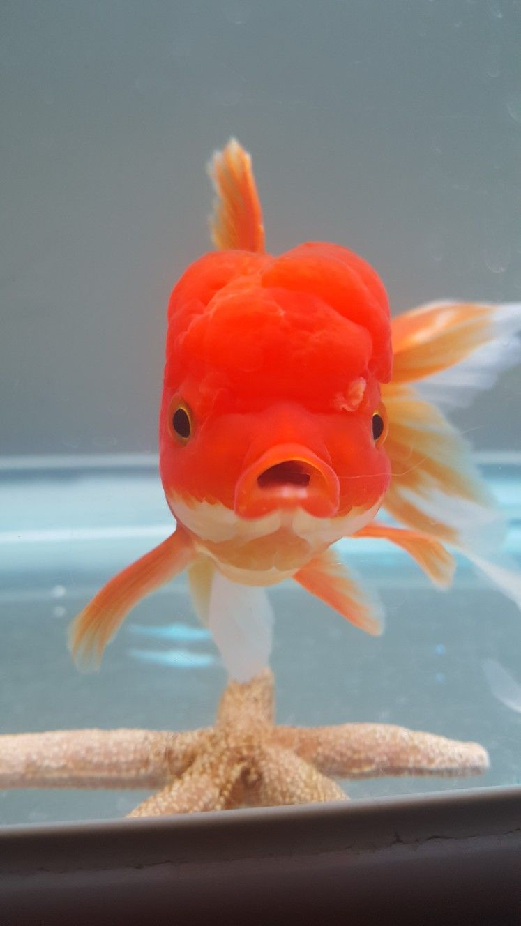 Pin by Dulcet Flor on Gold fishes <3 | Pinterest | Goldfish