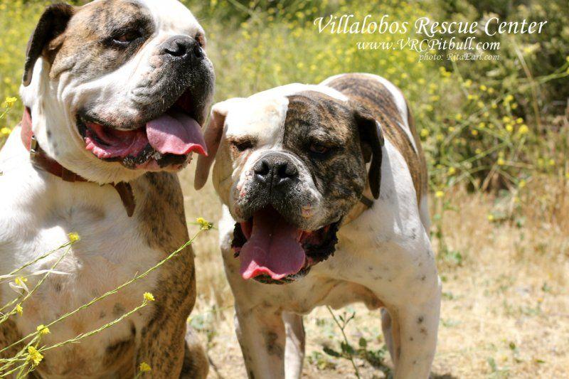1a8875b2c20 Cheech   Chong - Villalobos Rescue Center Pit Bulls and Parolees  sweethearts Pitbull - Bulldog lovin