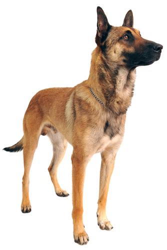 Pin By Tara Evans Cushing On Belgian Malinois Malin Wa Belgian Malinois Dog Malinois Dog Malinois