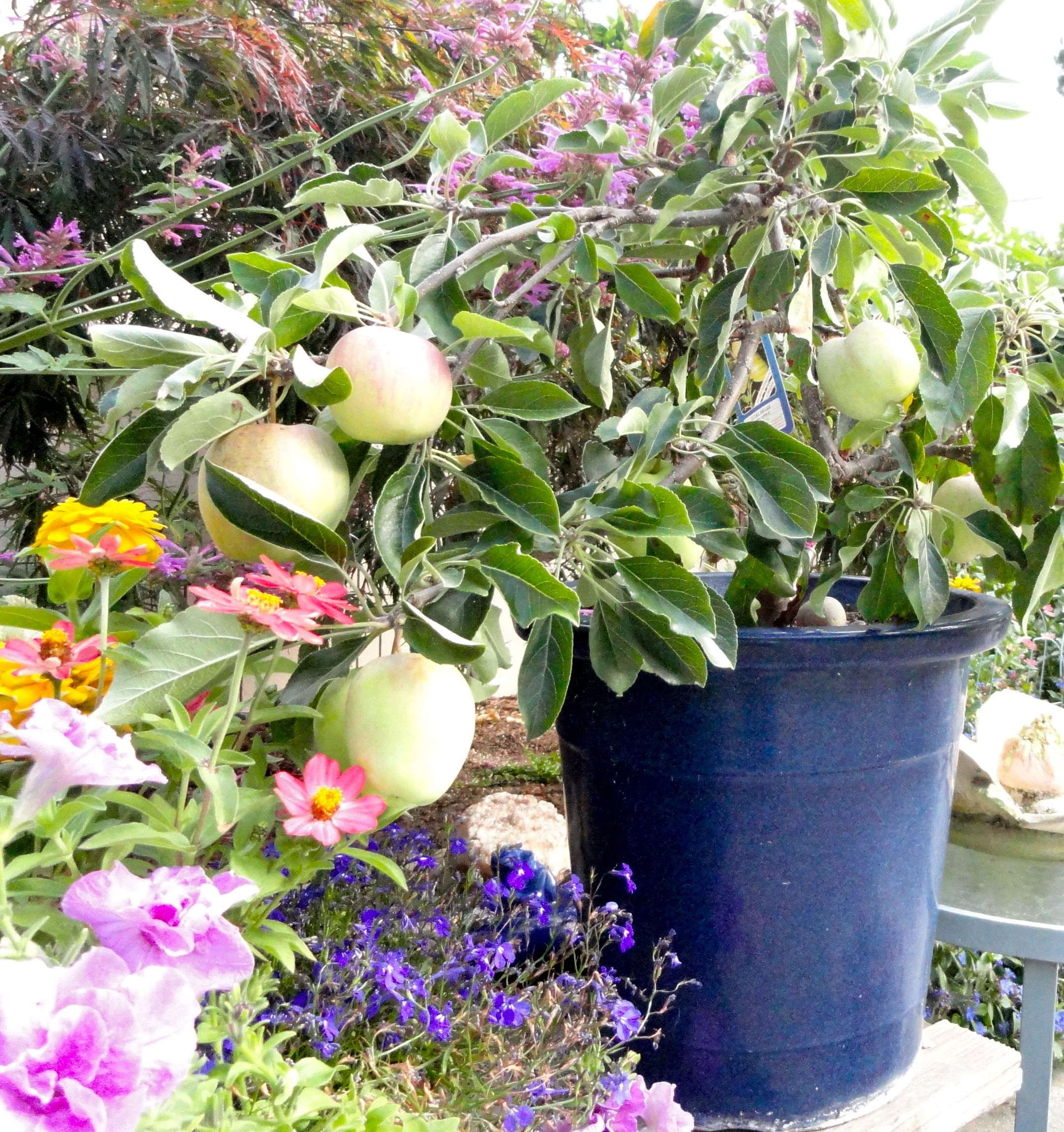 Simple Ultra Dwarf Patio Fruit Tree Planting Guide Patio Fruit Trees Small Space Gardening Trees To Plant