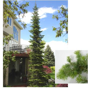 abies lasiocarpa subalpine fir