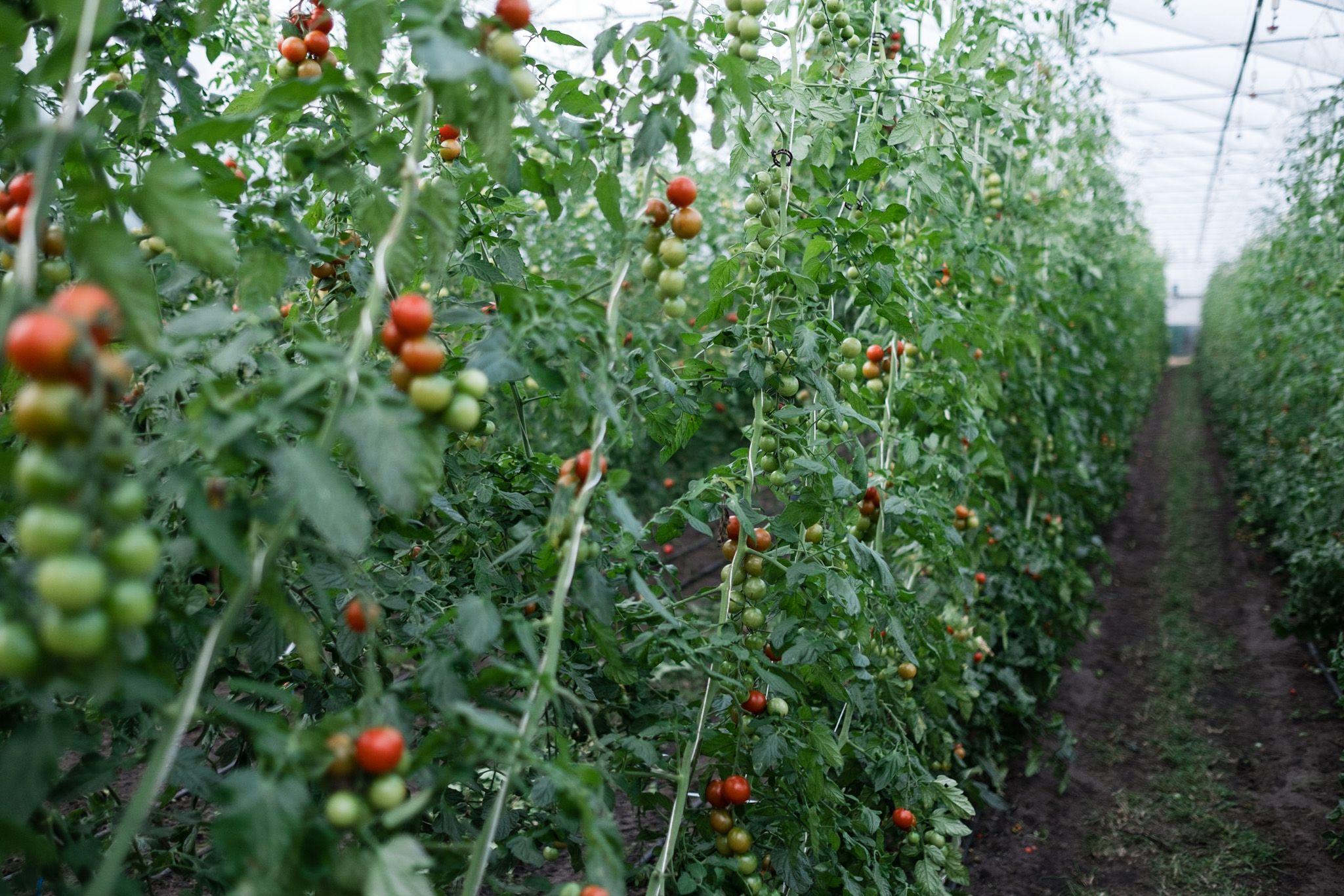 Tomaten Vermehren Pflegen Ernten Teil 1 Saatgutgewinnung Osmers Garten Garten Gartentipps Garten Gestalten