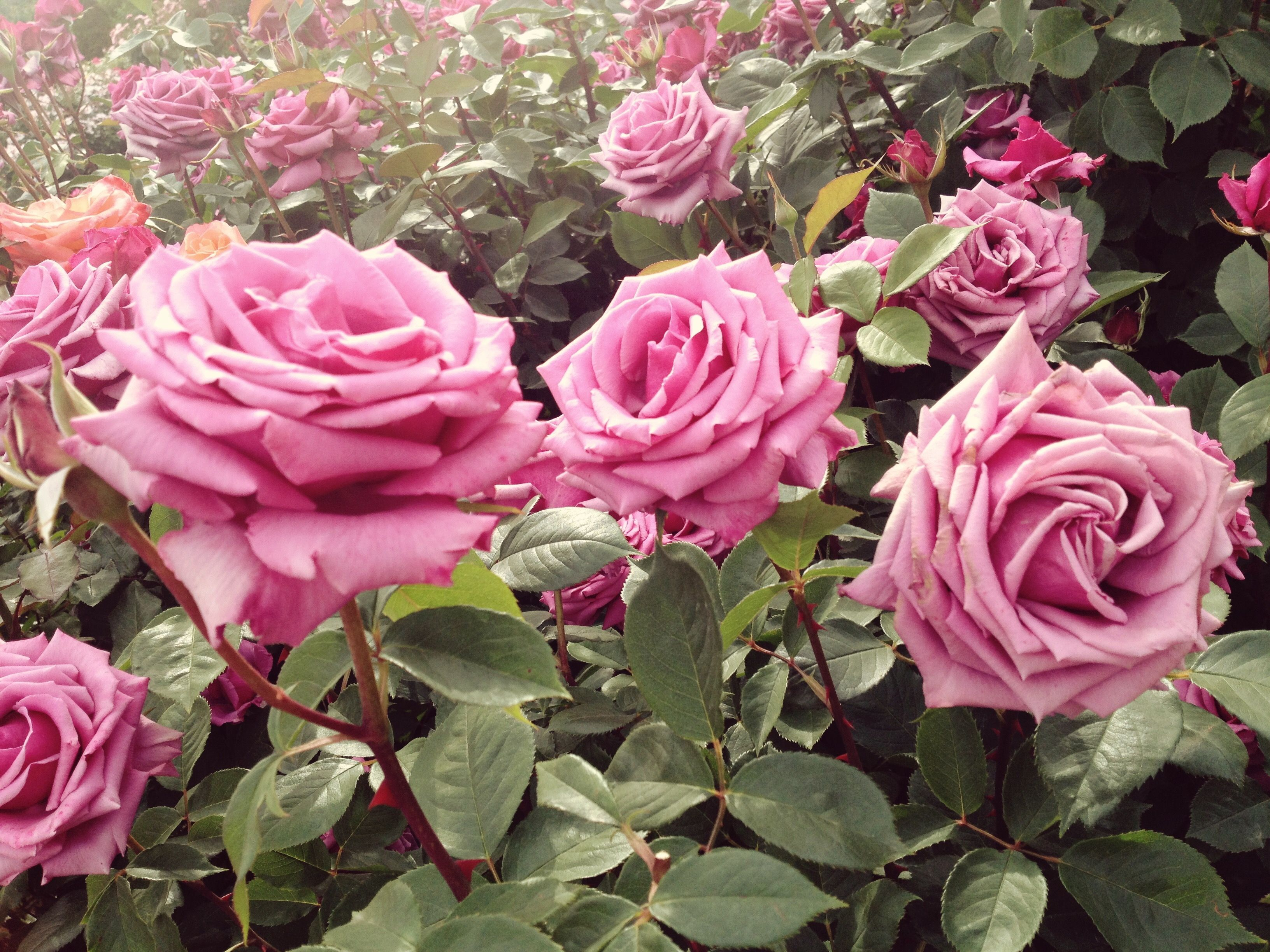 55 types of flowers you should have in your garden rose flowers 55 types of flowers you should have in your garden izmirmasajfo