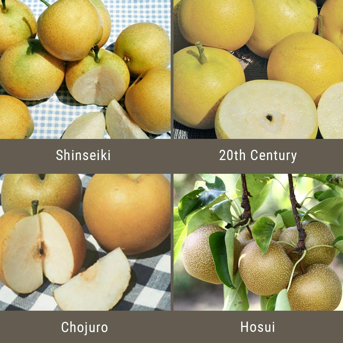Asian Pears 3 On 1 Multiple Grafted Fruit Tree Semi Dwarf Fruit Trees Grafting Fruit