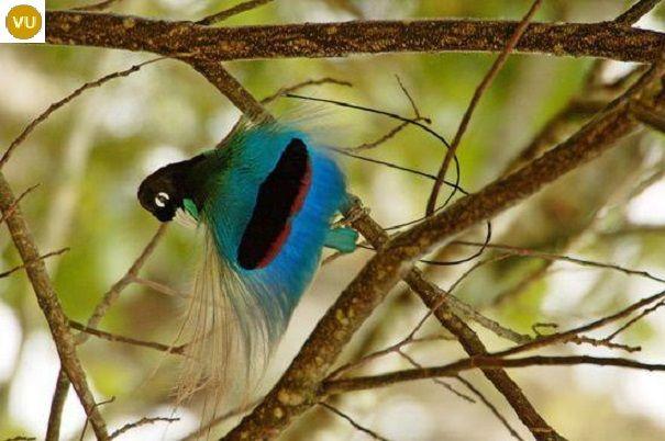 https://www.facebook.com/WonderBirdSpecies/ Blue bird-of-paradise (Paradisaea rudolphi); Endemic to Papua New Guinea; IUCN Red List of Threatened Species 3.1 : Vulnerable (VU)(Loài sắp nguy cấp) || Chim thiên đường xanh lam; Loài đặc hữu Papua New Guinea; HỌ CHIM THIÊN ĐƯỜNG-PARADISAEIDAE (Birds-of-paradise).