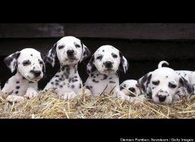 Photos 16 Dalmatian Puppies Born In Bizarrely Enormous Litter
