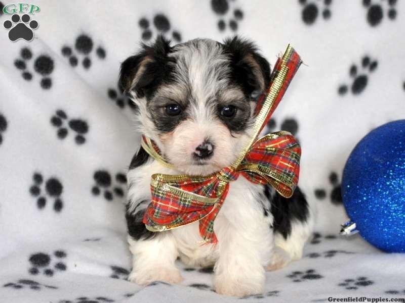 #morkie #dogs #cute DIT VIND IK NIET LEUK,WEL HET HONDJE HOOR.