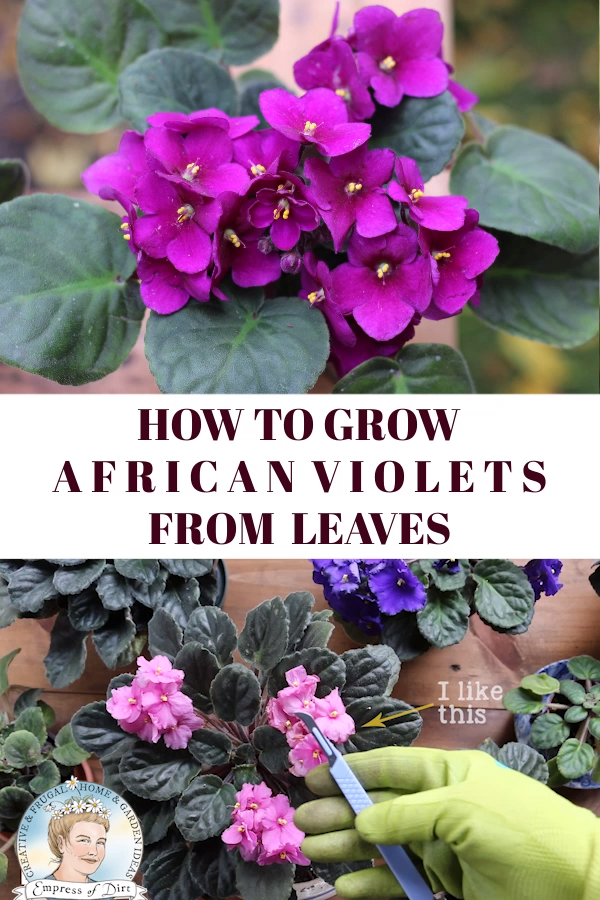 Photo of How to Grow African Violet Leaf Cuttings