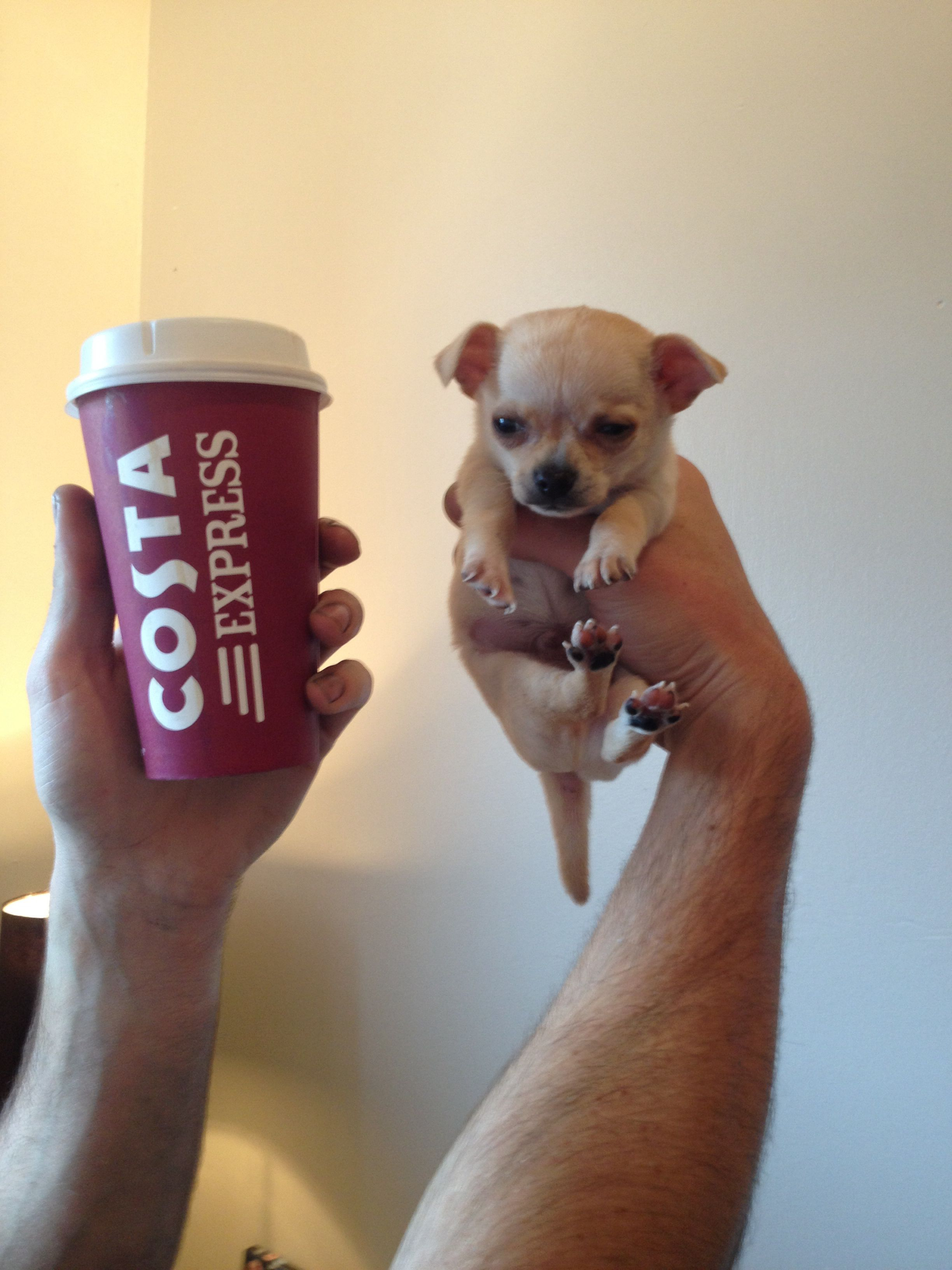 Teacup Chihuahua Cute Fluffy Puppies Cute Cats And Dogs Dog