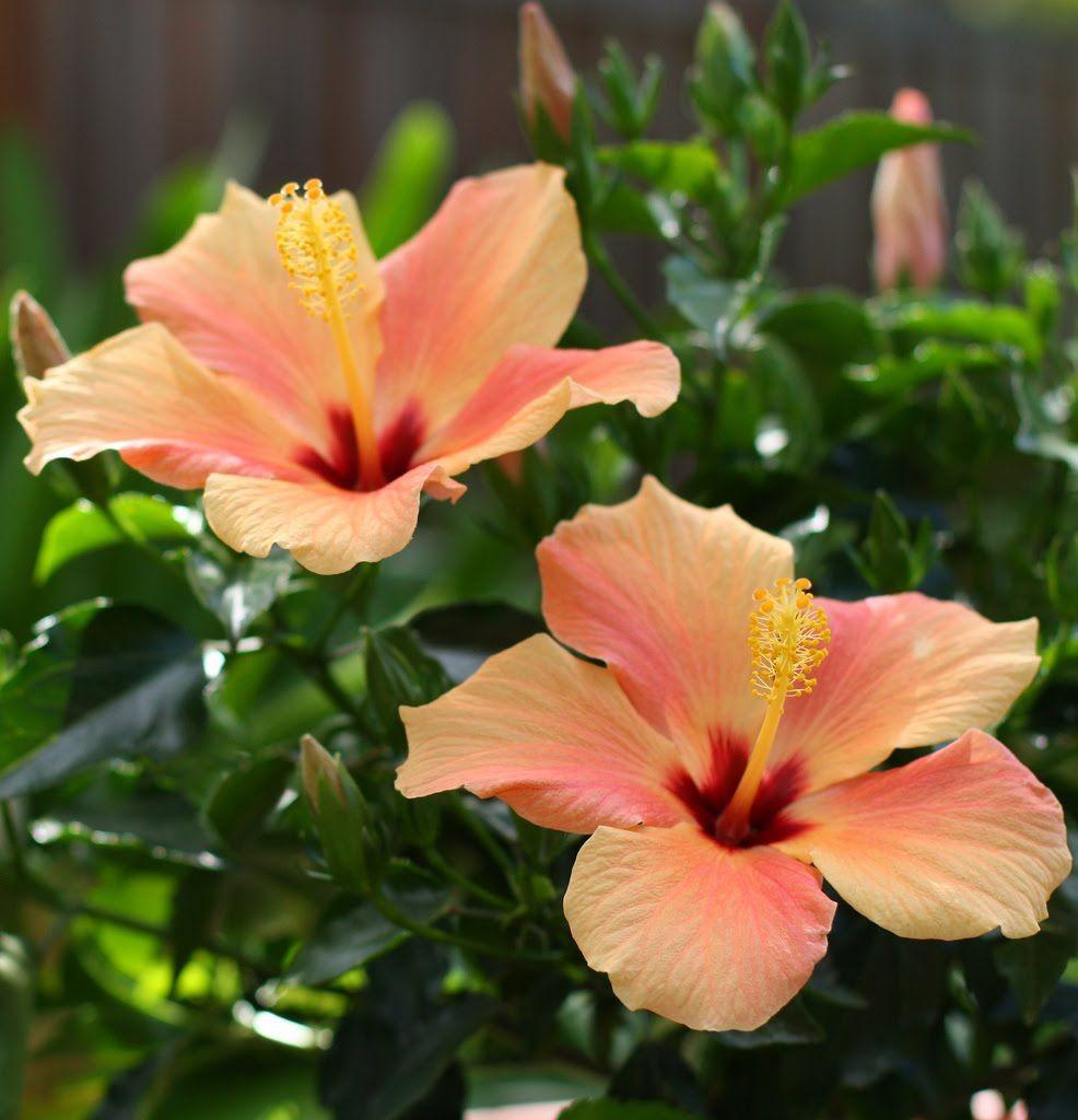 Cairo apricot tropical hibiscus garden ideas pinterest hibiscus my other favorite flower izmirmasajfo