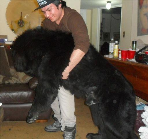 heavylifting.jpg Newfoundland dog, Dogs, Newfoundland