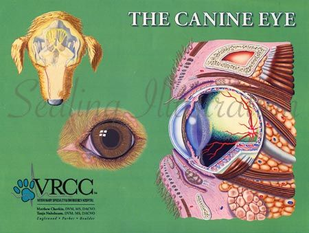 Dog Canine Eye Anatomy Illustrationscience Art Veterinary