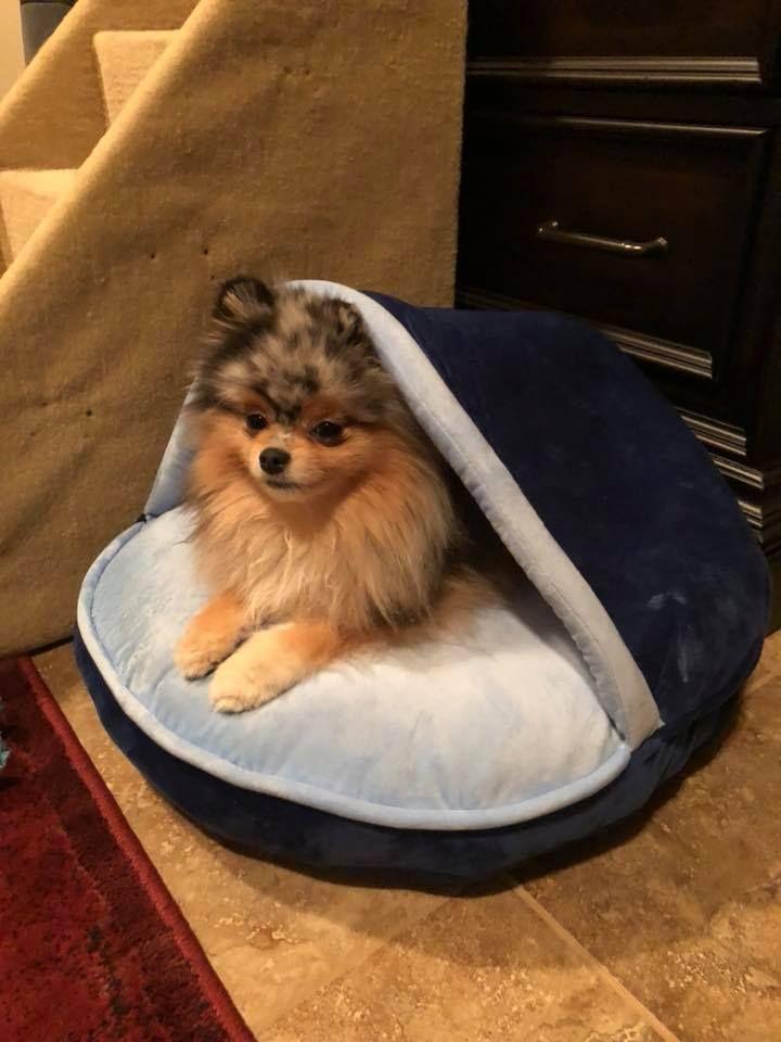 pomeranian Pomeranian, Dogs, Dogs, puppies
