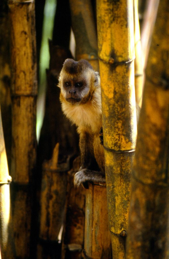 Capuchine Monkey, by klausdgrio