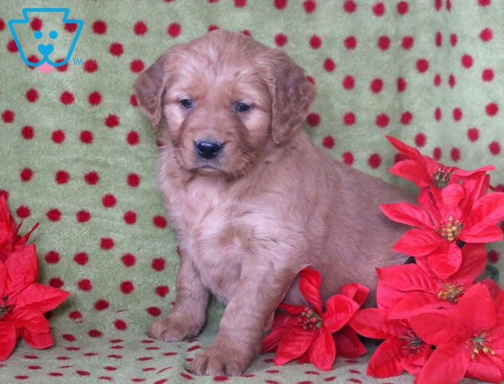 Jewels Puppies Puppies For Sale Cute Dog Pictures