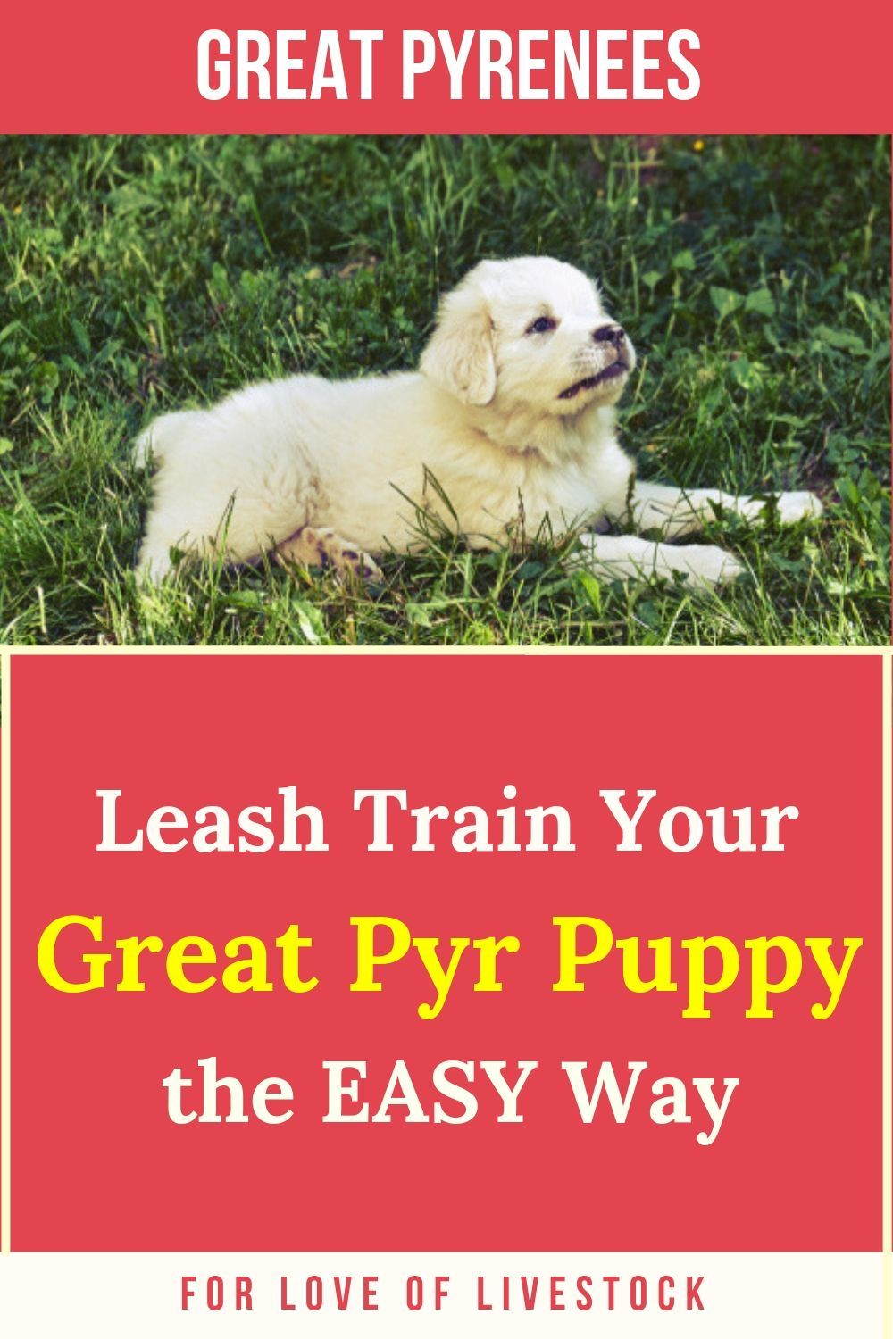 Leash train your great pyr puppy the easy way great