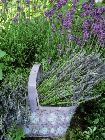 Love lavender? I do- lots of pics and tips here