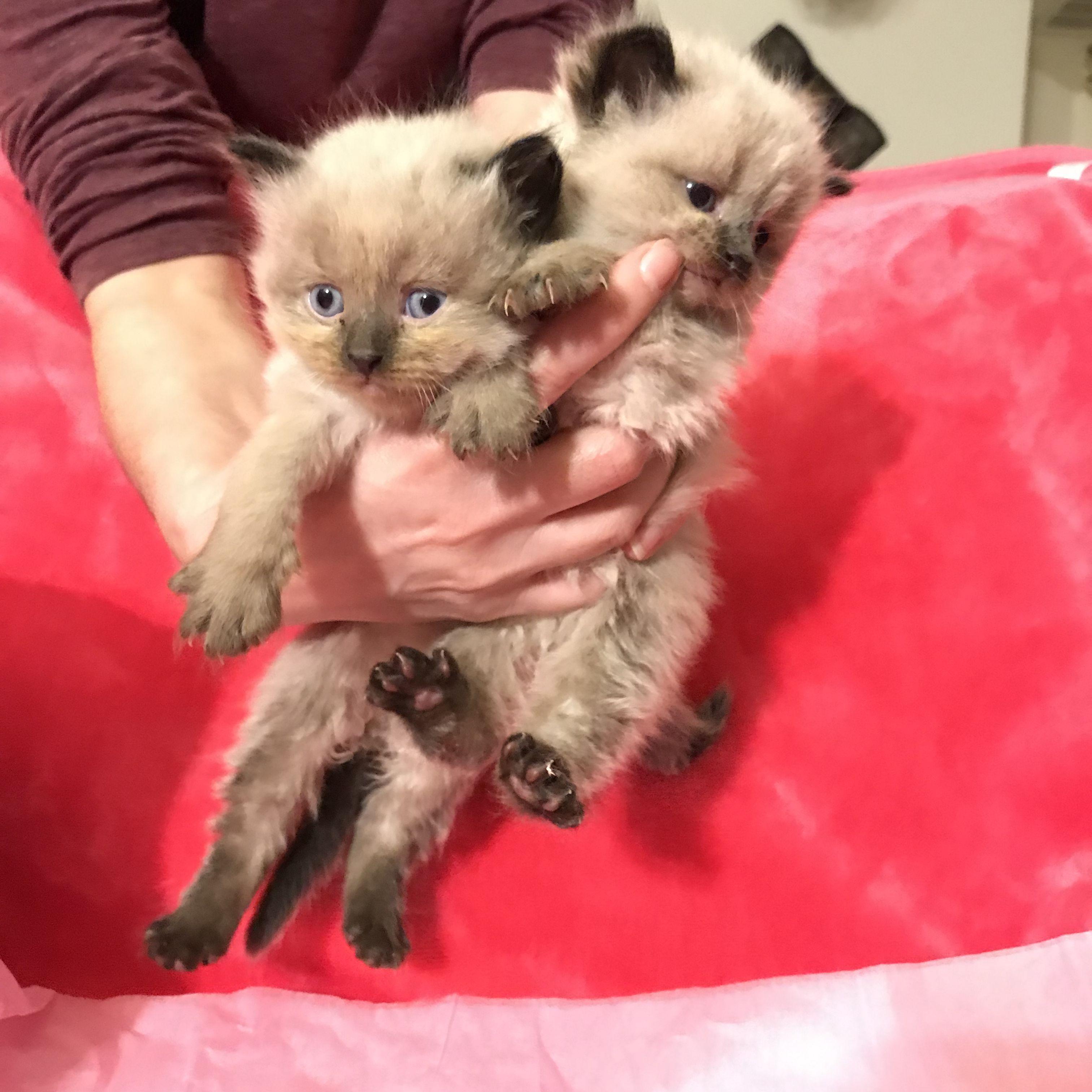 Pin By Ennovi On Purralot Kittens Austin Tx Fur Babies Kittens Animals