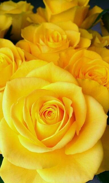 Beauty Yellow Rose Rosas Amarillas Flores Amarillas