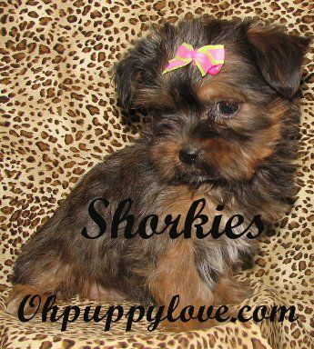 morkies for sale,shorkies for sale,maltipoos for sale,morkie