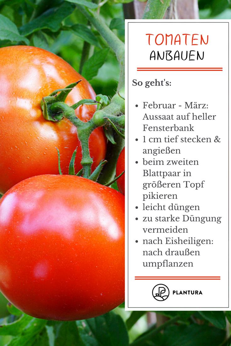 Tomaten Anbauen Wie Ihr Das Leckere Gemuse Erfolgreich In Eurem Garten Anbaut Zeigen Wir Euch Bei Plantura Tomaten Anbau Tomaten Anbauen Paradeiser Tomaten