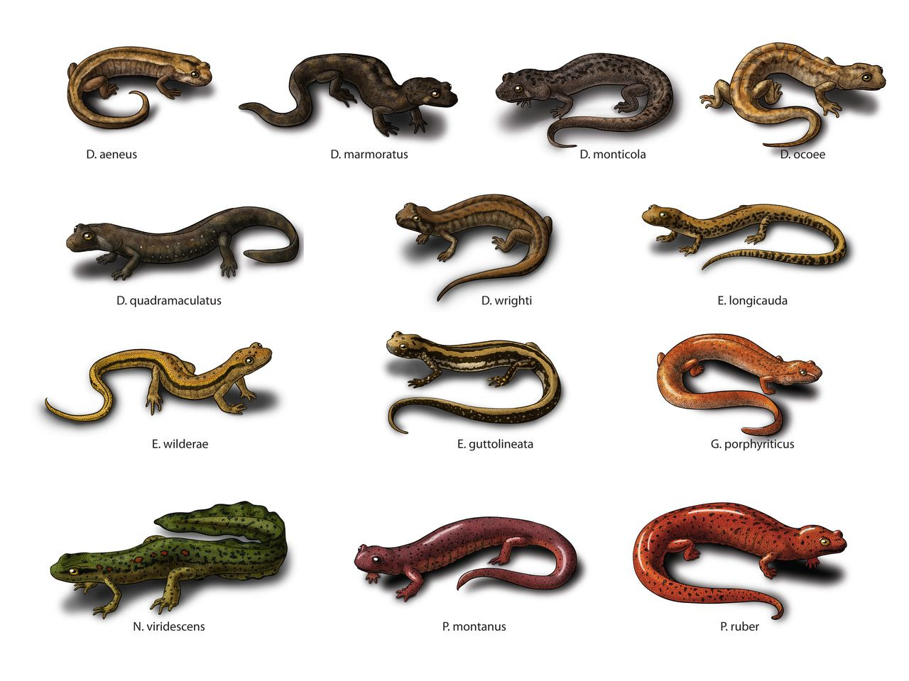 Cryptobranchus North Georgia Stream Salamanders Done For