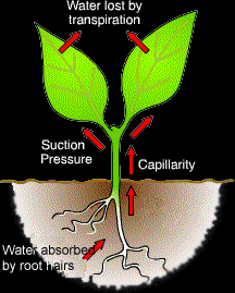 Transport In Plants Gcse Biology Revision Xtremepapers