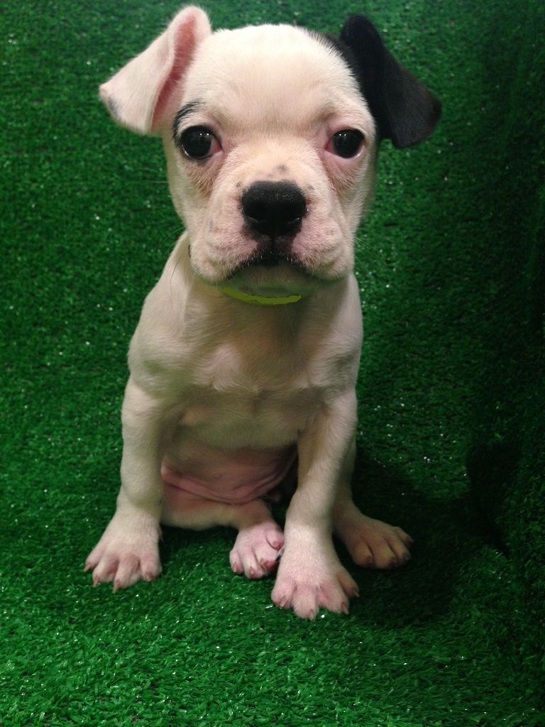 Fruggle French Bulldog X Puggle New Jersey Puppies For Sale