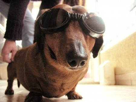 Funny Dashound Pictures Funny Dog With Goggles Vitamin Ha