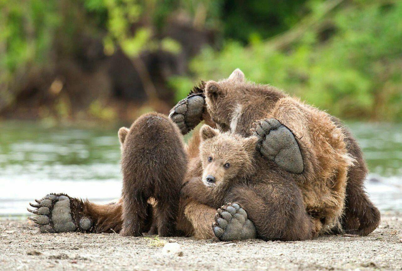 том, как фото медвежат в хорошем качестве популярен