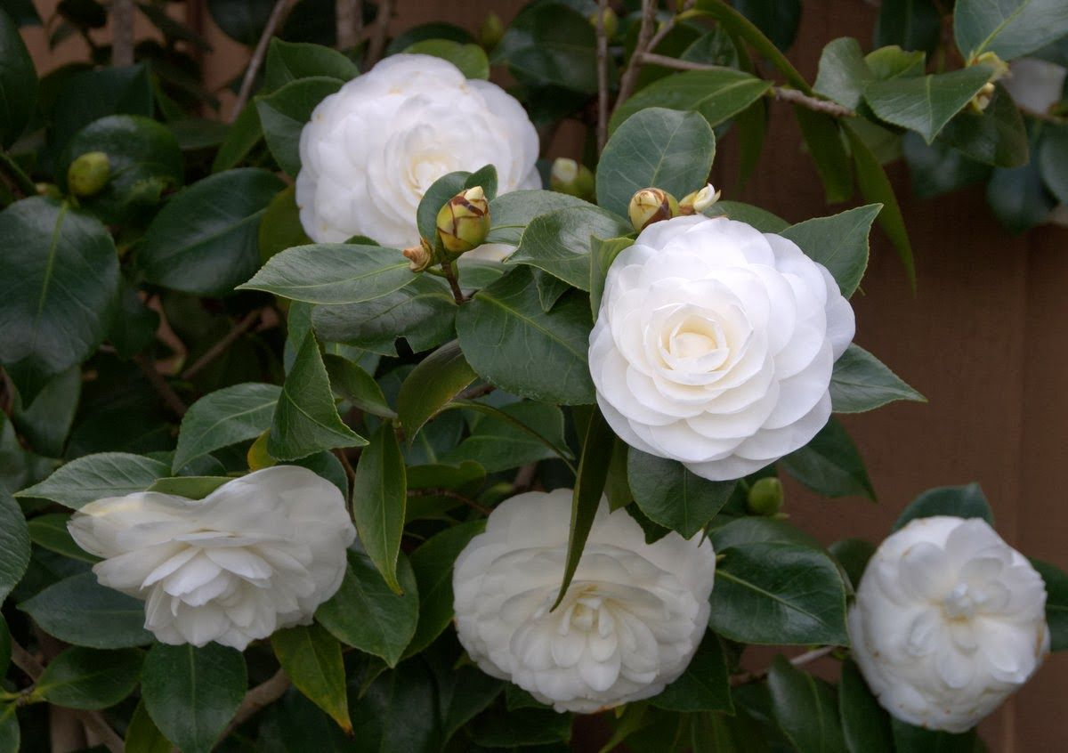 My White Camellias Are In Bloom White Camellia Camellia Camelia Tree