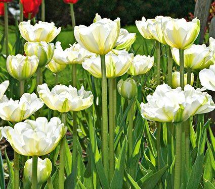 Tulip white touch white flower farm tulipanes pinterest tulip white touch white flower farm mightylinksfo Gallery