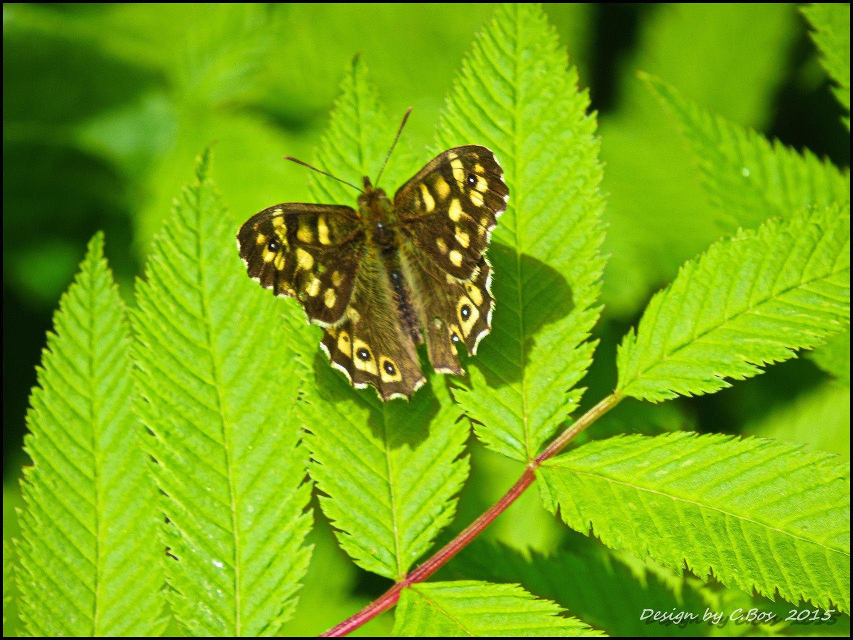 Waldbrettspiel Laubfalter Mit Bildern Bilder Bildergalerie Insekten