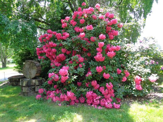 Nature Rhododendron Woodland Tree Bush Red Pink Flowers Blooms