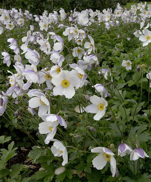 Anemone Wild Swan Flowering May To November A Magnificent New Plant From The Uk Anemone Japanese Anemone Plants
