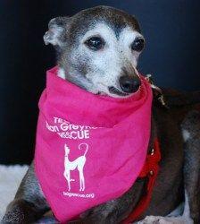 Nina is an adoptable Italian Greyhound Dog in Flower Mound