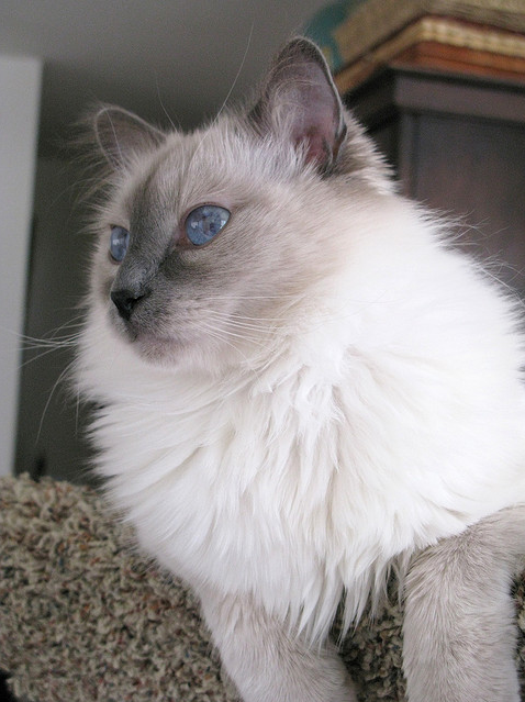 Long Haired Cat With Blue Eyes Pretty Cats Gorgeous Cats Balinese Cat