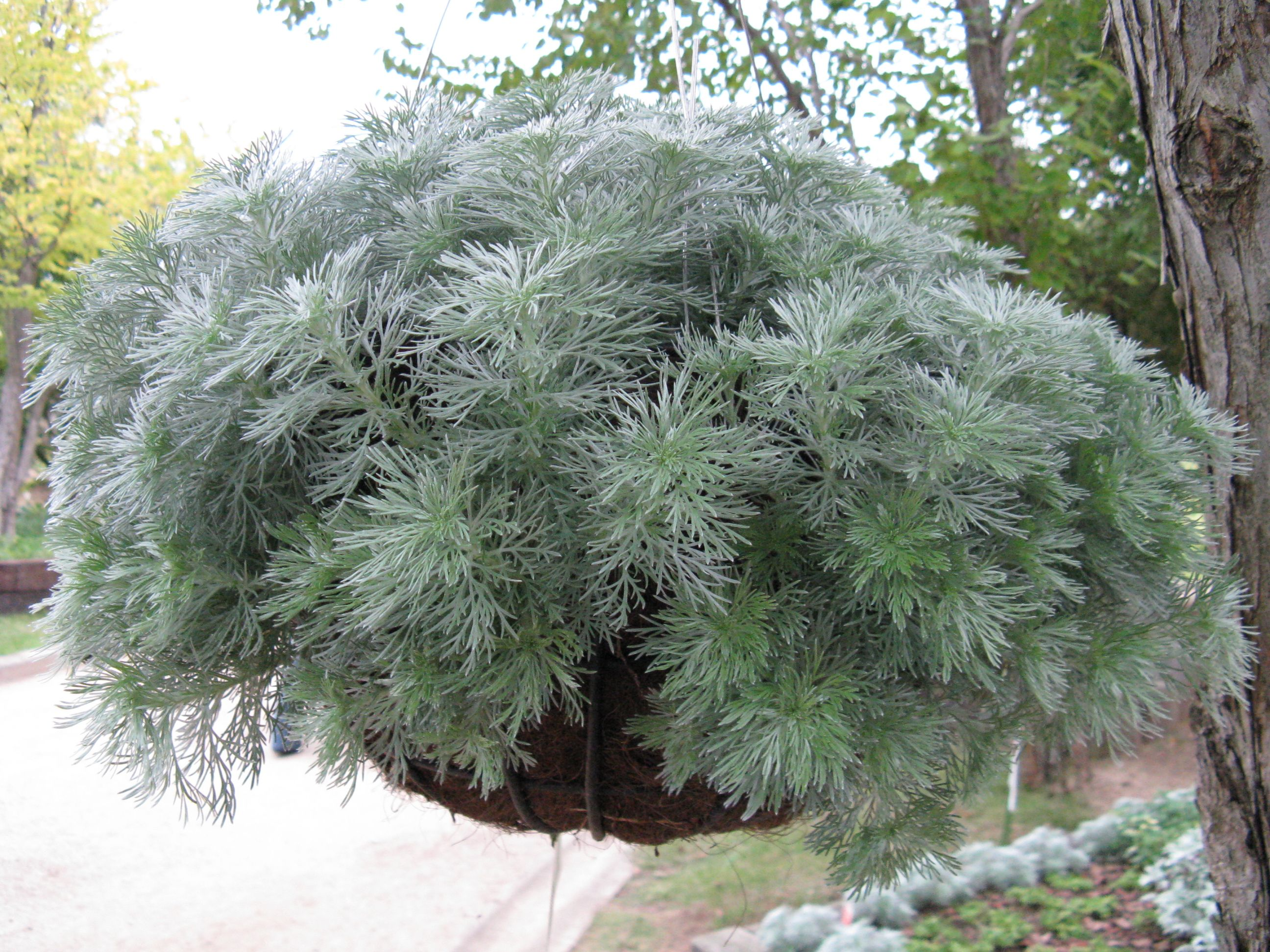 Fiori Tappezzanti Per Aiuole artemisia schmidtiana | plants, ground cover plants
