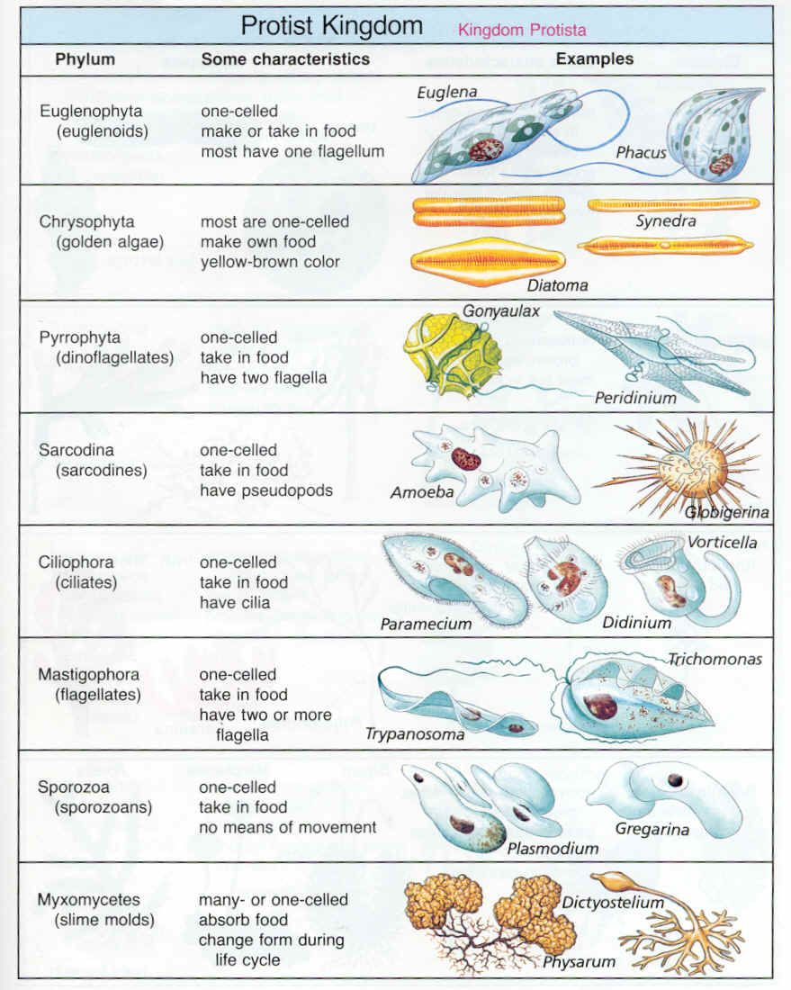 Protista   Biology lessons [ 1100 x 879 Pixel ]