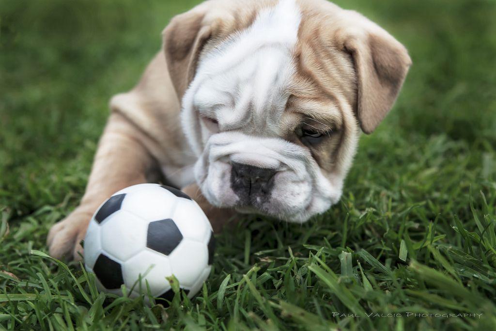 Top Bulldog Ball Adorable Dog - 6f70b0fd3f632f421e3bb2872e922d35  Photograph_131513  .jpg
