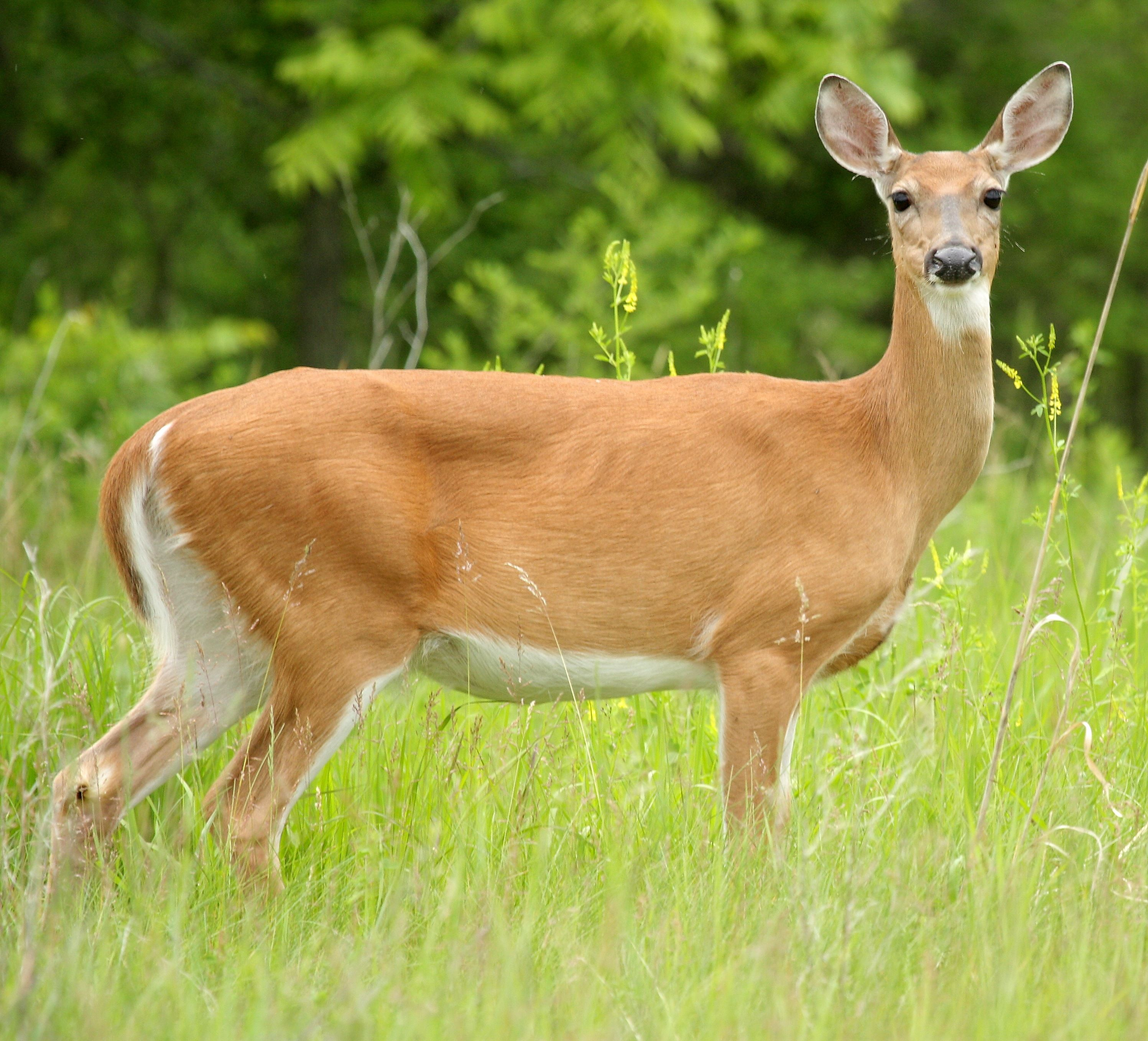 Adult female deer