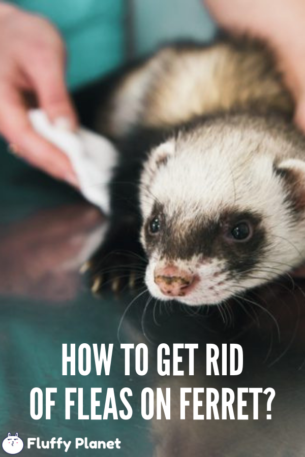 How To Get Rid Of Fleas On A Ferret 2020 Ferret Fleas