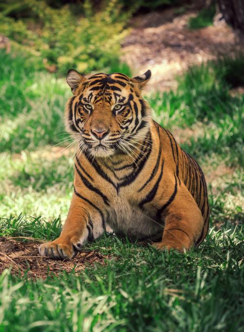 A Resting Tiger Grosse Katzen Raubkatzen Katzen