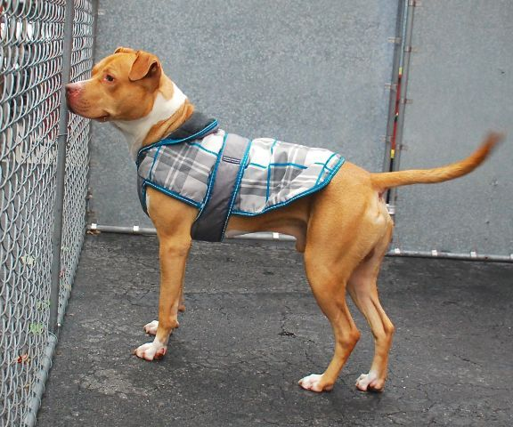 SAFE RTO 10-11-2015 --- Manhattan Center BRUCE – A1053511 MALE, BROWN / WHITE, PIT BULL MIX, 2 yrs STRAY – STRAY WAIT, NO HOLD Reason STRAY Intake condition UNSPECIFIE Intake Date 10/03/2015 http://nycdogs.urgentpodr.org/bruce-a1053511/